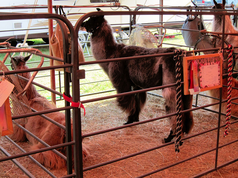 Llamas<br /> Elkhart County 4H Fair 2012