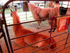 Llamas<br /> Elkhart County 4H Fair 2012