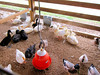 Poultry<br /> Elkhart County 4H Fair 2012