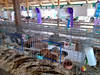Rabbits<br /> Elkhart County 4H Fair 2012
