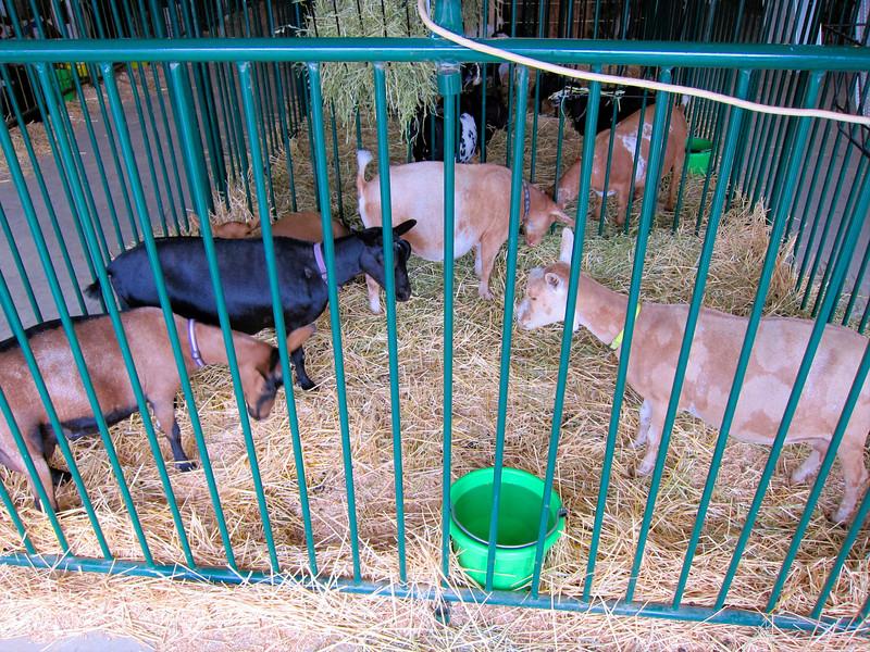 Goats<br /> Elkhart County 4H Fair 2012