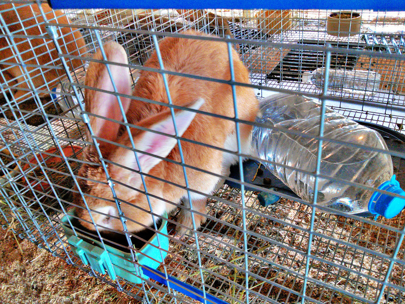 Rabbits<br /> Elkhart County 4H Fair 2012