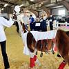 John P. Cleary | The Herald Bulletin  <br /> The 4-H Llama/Alpaca Show.
