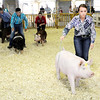 Don Knight | The Herald Bulletin<br /> Hannah Alcala leads the pig assigned to her around the show ring during the Supreme Showmanship competition at the 4-H Fairgrounds on Thursday.
