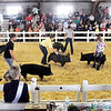 John P. Cleary | The Herald Bulletin<br /> All nine exhibitors in the Berkshire Barrow class 20 spread out as they work their animals around the show ring during judging at the 4-H Swine Show Monday.