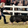John P. Cleary | The Herald Bulletin<br /> Gwyndalynn Kay hurries to keep up with her Berkshire Barrow in the show ring as she shows the animal during judging Monday at the Madison County 4-H Fair. Kay won first in her class.