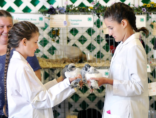 John P. Cleary | The Herald Bulletin<br /> Emily Van Ness, 12, and her sister Jessica, 16, compare their Chinese Owl breed pigeons before they compete against each other Wednesday at the Madison County 4-H Fair Pigeon Show.