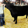 Don Knight | The Herald Bulletin<br /> Cagney Utterback keeps an eye on the judge during the beef portion of supreme showmanship at the Madison County 4-H Fair on Thursday.