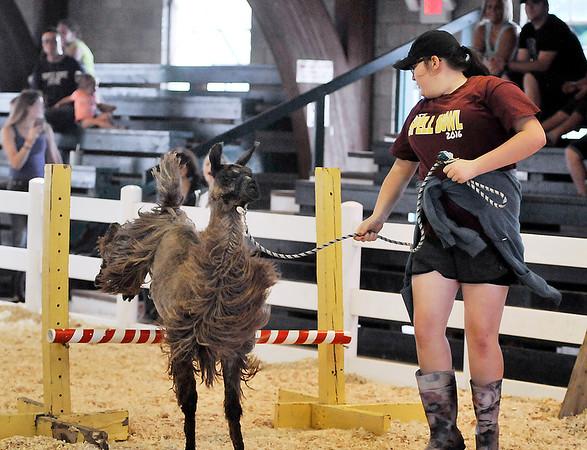 John P. Cleary | The Herald Bulletin<br /> Olivia Ward, 13, leads her llama Dubby through the 4-H Llama/Alpaca Fun Show obstacle course Friday at the 4-H Fair.