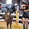 John P. Cleary | The Herald Bulletin<br /> Olivia Ward, 13, leads her llama Dubby through the 4-H Llama/Alpaca Fun Show obstacle course Friday at the 4-H Fair.