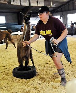 John P. Cleary | The Herald Bulletin Olivia Ward, 13, leads her llama Dubby through the 4-H Llama/Alpaca Fun Show obstacle course Friday at the 4-H Fair.