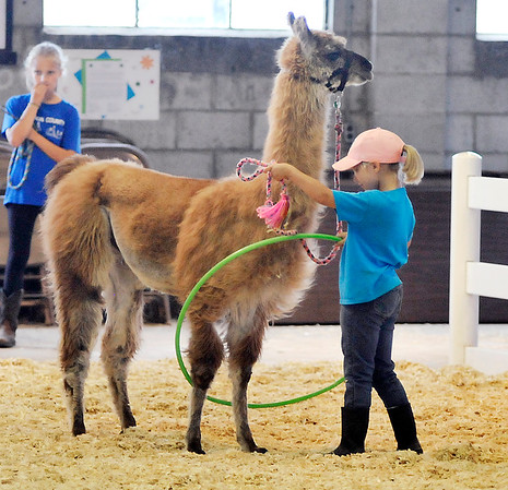 John P. Cleary | The Herald Bulletin Courtney Arteritano, 9, works with Aladdin as he steps through a hula hoop as part of the 4-H Llama/Alpaca Fun Show Friday.