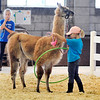 John P. Cleary | The Herald Bulletin<br /> Courtney Arteritano, 9, works with Aladdin as he steps through a hula hoop as part of the 4-H Llama/Alpaca Fun Show Friday.