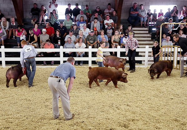 John P. Cleary | The Herald Bulletin<br /> 4-H Swine Show judge Brett Beyers looks over this class during judging at the 4-H Swine Show Monday.