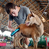 John P. Cleary | The Herald Bulletin<br /> Huston Ellingwood, 16, gives his Nigerian Dwarf goat a final trim before Tuesdays goat judging at the Madison County 4-H Fair.