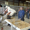 John P. Cleary | The Herald Bulletin<br /> Poultry judge Bob Gilbert takes a closer look at Noelle Loller's Feather Legged Bantam during judging Monday during the 4-H Poultry Show.