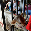 Don Knight | The Herald Bulletin<br /> Luke Sheward prepares his market heifer for the show ring during the Beef Show at the 4-H Fair on Tuesday.
