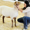 Don Knight | The Herald Bulletin<br /> Lauren Hughes shows her Champion Tunis yearling ewe during the Championship Sheep Show at the 4-H Fair on Wednesday.