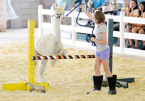 Don Knight | The Herald Bulletin<br /> Libby Kettery gets her alpaca Kelly to jump over a bar during the Llama/Alpaca show at the 4-H Fair on Friday. Kettery and Kelly won the Leaping Llama contest.