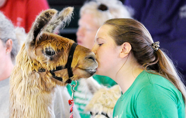 Don Knight | The Herald Bulletin<br /> Ellie Bloyb gives her llama Bruee a kiss during the Llama/Alpaca show at the 4-H Fair on Friday.