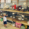 Checking out the Poultry Show Monday at the Madison County 4-H Fair.