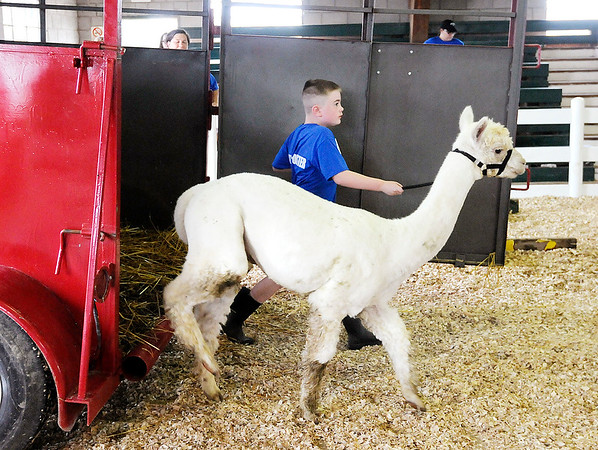 Don Knight | The Herald Bulletin<br /> Owen Maddox steps out of a livestock trailer with his alpaca Buster as he completes an obstacle course at the 4-H Fair on Saturday.