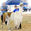 Don Knight | The Herald Bulletin<br /> Dylan Garst, 11, has his lama Dream Girl side step while completing an obstacle course at the 4-H Fair on Saturday.