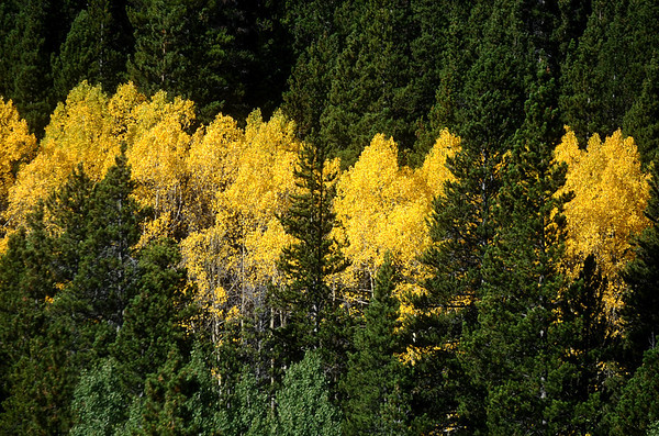 ASPEN05<br /> Aspen trees shows their colors along the Peak to Peak Highway on Friday. The aspens are just starting to change in Boulder County.<br /> Photo by Marty Caivano / The Camera / Sept. 18, 2009