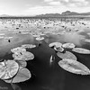 Sierra Valley water lilies