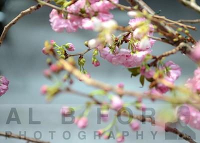 Apr 1, 2013  The 16th Annual Subaru Cherry Blossom Festival of Greater Philadelphia Kick off