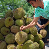 DAVAO. A man chooses from a pile durian fruits sold on the roadside. Fruits abound during the Kadayawan festival but none of them beats durian as an attraction. (King Rodriguez)