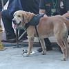 K9 dog deployed at grandstand during Sinulog 2016 grand parade