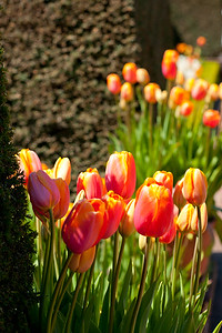 Tulips at the Filoli Gardens