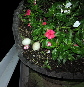 Duck eggs in flower pot