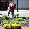 5/14/16 FITCHBURG-- Fitchburg city councilor Dave Clark came out for the city wide clean up on Satuday.   Dave is planting flowers in downtown Fitchburg.   Sentinel & Enterprise Photo/Jeff Porter