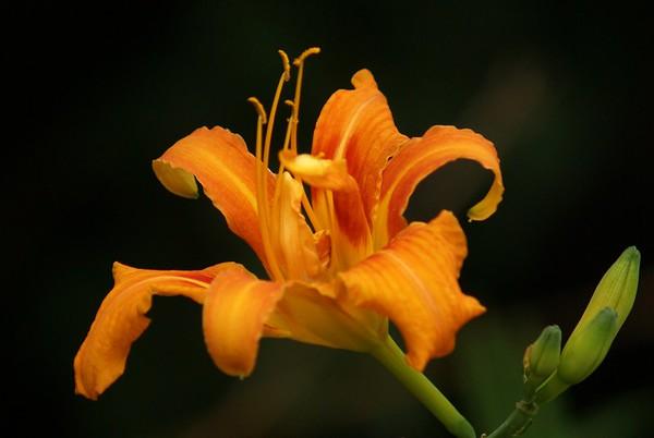 daylily -orange