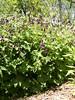 Dusky cranesbill - geranium