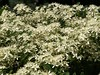 clematis - white 003