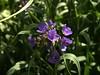 Spiderwort -2