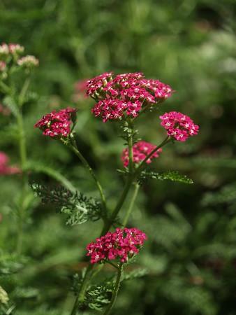 Yarrow -pink-1