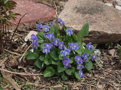 woodland violet
