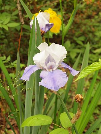 Lavender & White Iris