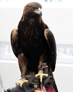 Denali gave the golden eagle version.