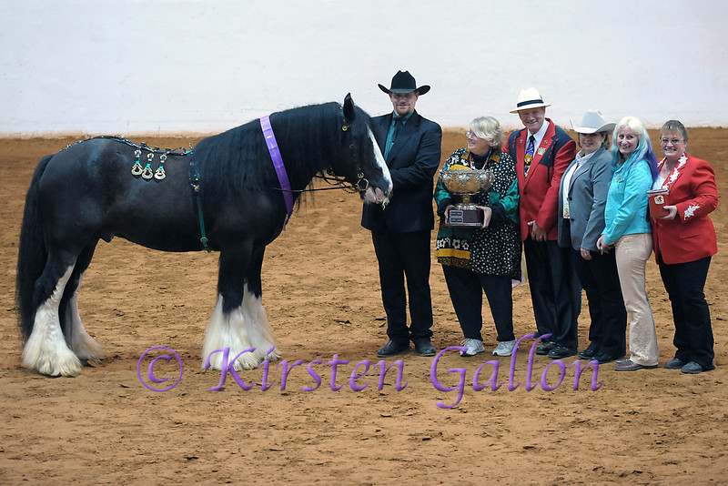KING KOAL, shown by CJ VAN SICKLE, receives the World Champion Award from the judges in the Gypsy Halter Category.