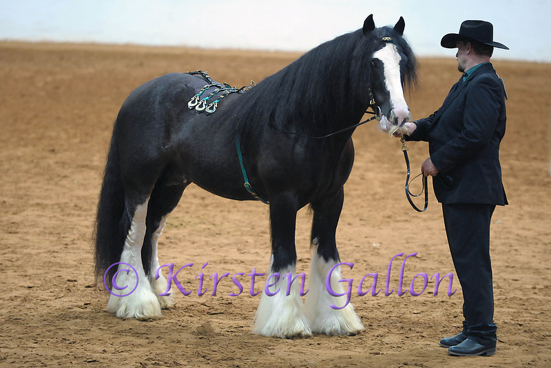 CJ VAN SICKLE SHOWING KING KOAL  in the Gypsy Horse Halter category.