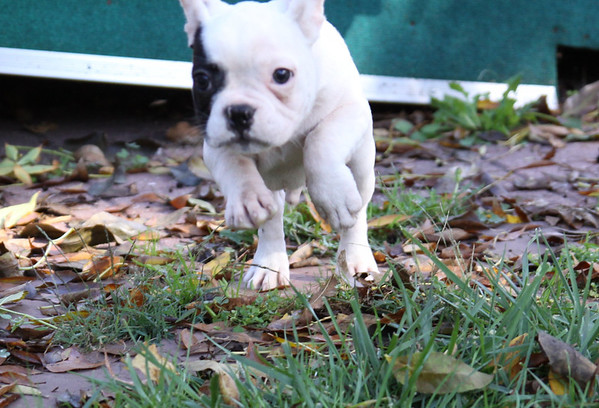 Frenchie Mill Rescue 2013