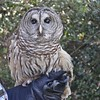 <b>Debbie Fritz-Quincy shows off Barred Owl at Hobe Sound Nature Center</b>  January 15, 2015  <i>- Anthony Lang</i>