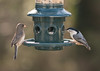 Finch and Nuthatch