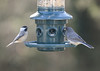 Black-Capped Chickadee and House Finch