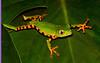 Tiger Leg Monkey Frog 2